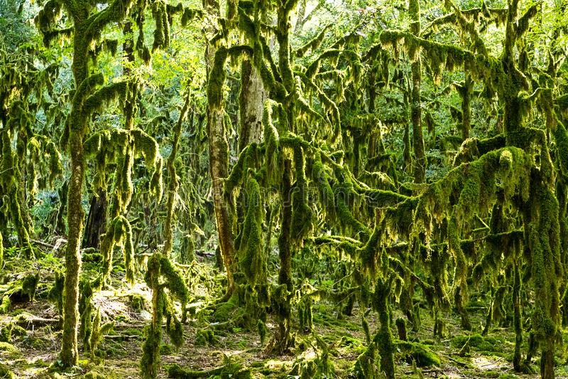不可思议的神仙的森林,遗物森林黄杨木潜叶虫科尔基斯树Neckera青苔 库存图片