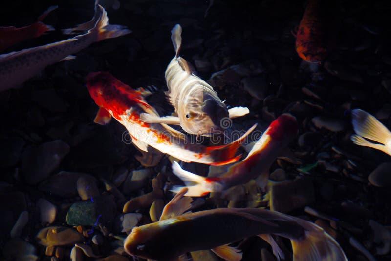 不可思议的鲤鱼 免版税库存图片