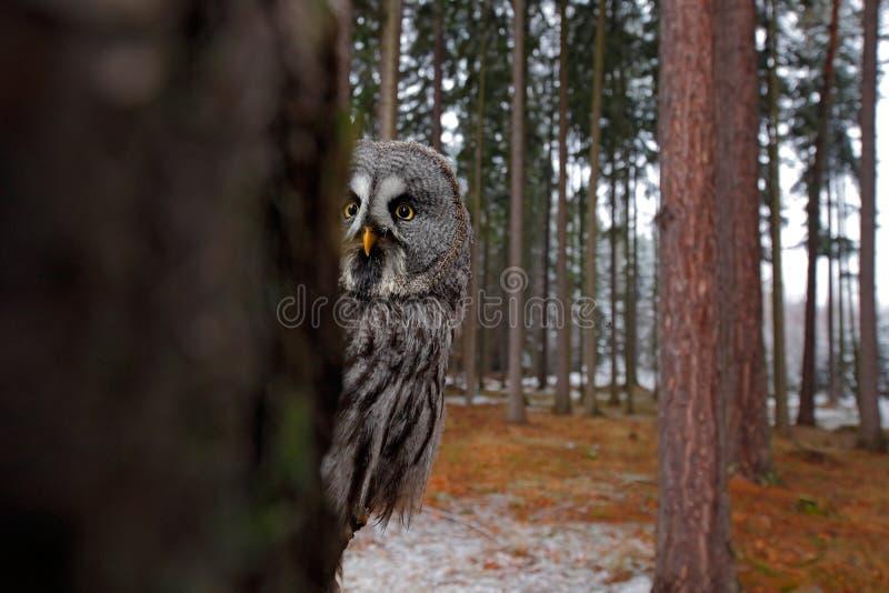 不可思议的鸟巨大灰色猫头鹰,猫头鹰类nebulosa,掩藏与云杉的树森林的树干在backgrond,广角镜头照片 库存图片