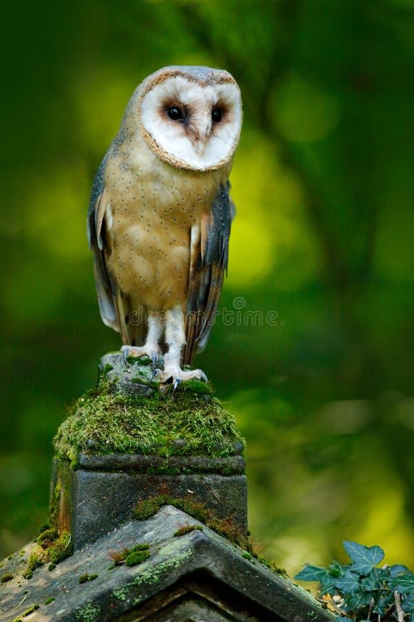 不可思议的鸟谷仓猫头鹰,晨曲的铁托,飞行在石篱芭上在森林公墓 野生生物场面自然 都市野生生物 动物behavio 免版税库存照片