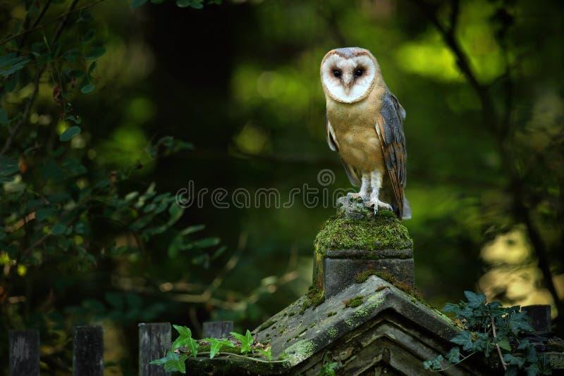 不可思议的鸟谷仓猫头鹰,晨曲的铁托,坐石篱芭在森林公墓 免版税库存照片