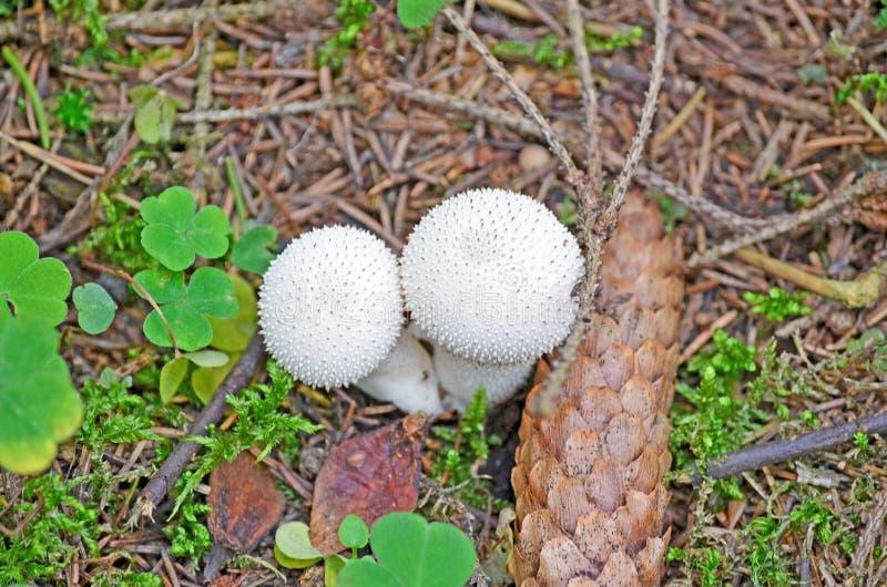 不可食的蘑菇在森林里 免版税库存图片