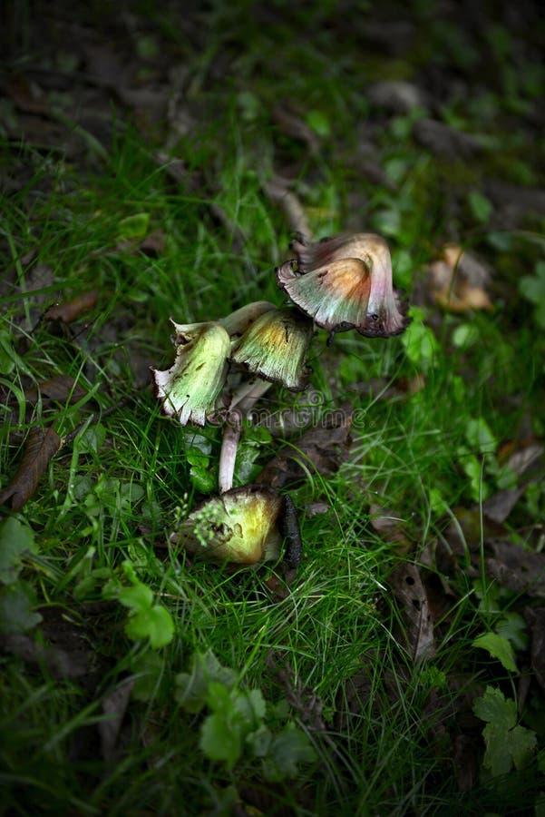 不可食的蘑菇 免版税库存照片