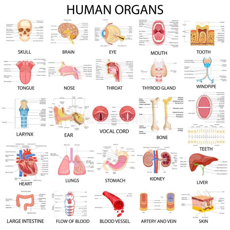不同的人体器官图  皇族释放例证