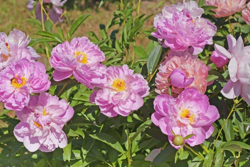 不同的品种桃红色牡丹在庭院里 库存照片