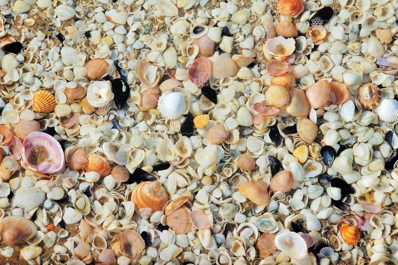 不同的颜色惊人的conchs和扇贝在海岸的 库存图片