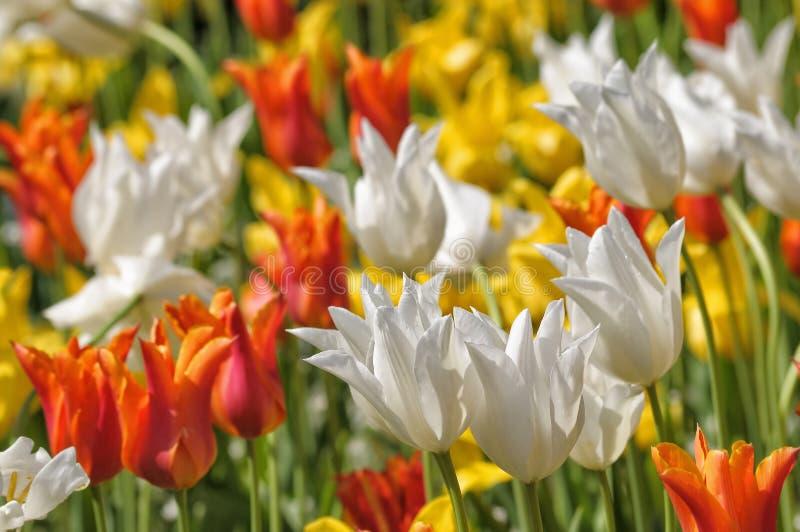 不同的颜色郁金香的混合  免版税库存照片