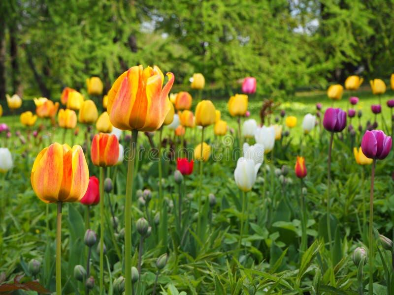 不同颜色年轻郁金香的领域 郁金香的芽与新鲜的绿色叶子的在好日子 免版税库存照片
