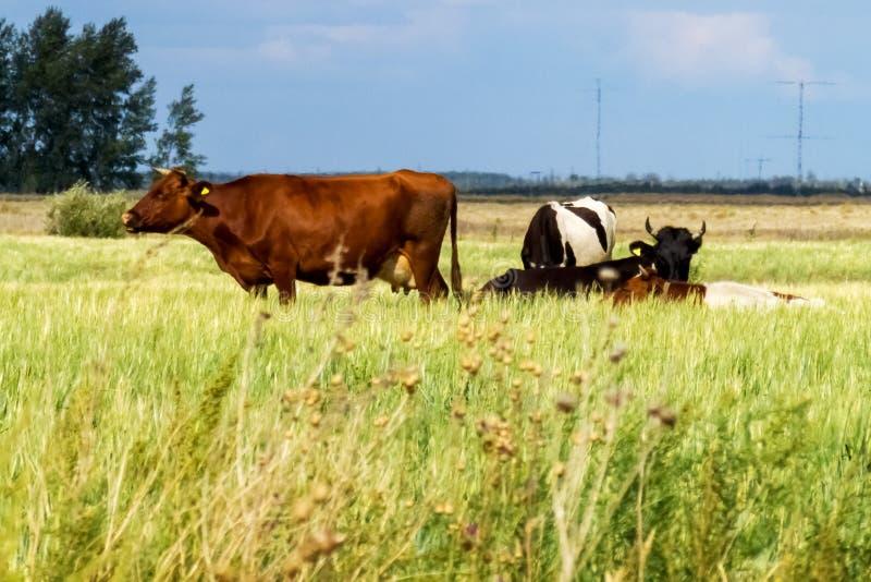 不同颜色母牛在草甸吃草 免版税库存图片