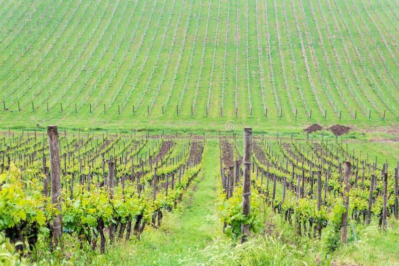 不尽的绿色葡萄园在托斯卡纳 图库摄影