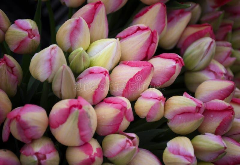 不开放红色和白色郁金香的芽 库存照片