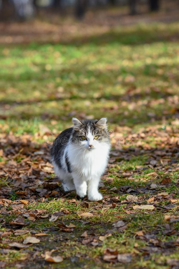 不快乐的猫在街道上居住,寻找食物 库存照片