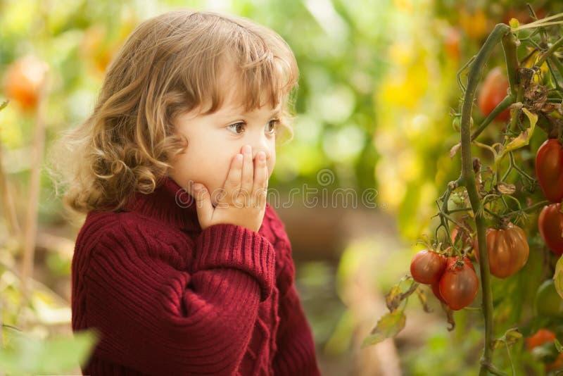 不快乐的矮小的花匠,蕃茄疾病Phytophthora Infestans 成熟红色蕃茄病由晚疫病 免版税库存图片