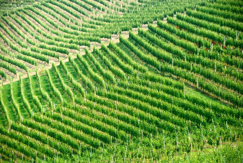 不是葡萄树意大利人piemonte成熟葡萄园 库存照片