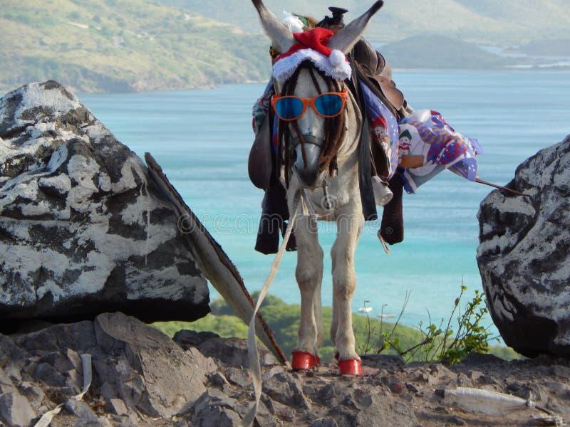 不是驯鹿!在圣基茨希尔的圣诞节驴 库存图片