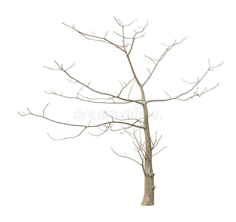 不生叶的树 免版税库存图片