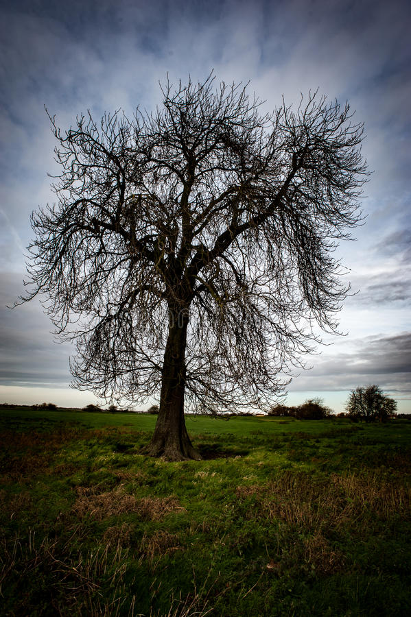 不生叶的欧洲七叶树 库存图片
