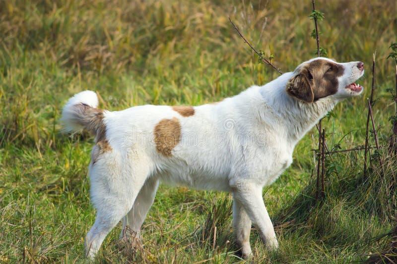 不积极逗人喜爱的咆哮的狗 免版税库存图片