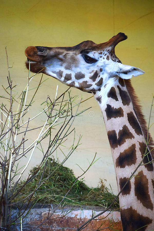 与一个分支的长颈鹿在动物园 免版税库存照片