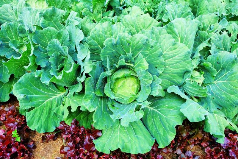与一个大新鲜的圆白菜圆白菜特写镜头的背景 在床上的圆白菜圆白菜 免版税库存图片