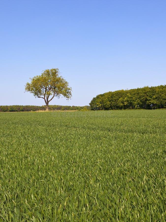 与一个孤立树的英国风景和绿色麦田春天 库存图片