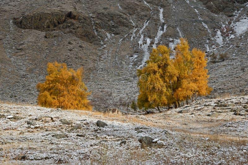 与一个小组的秋天风景与明亮的黄色叶子和新近地下落的雪的桦树在草 山秋天风景机智 免版税图库摄影