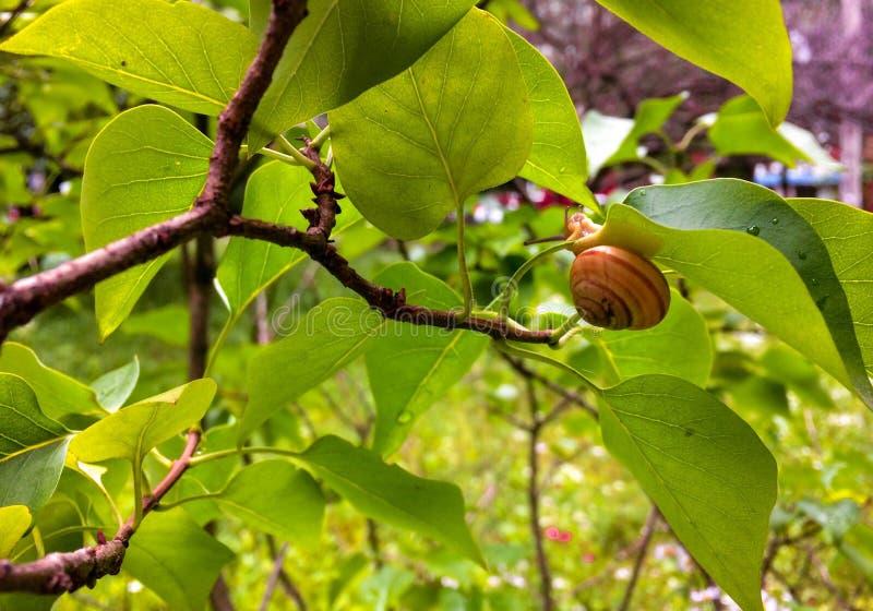 与一个房子的蜗牛一片绿色叶子的 免版税图库摄影