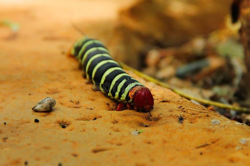 与一个柔软光滑的黑和绿色镶边身体、橙色尾巴和腿和一个红色头的一巨大的毛虫pseudosphinx tetrio, 免版税库存照片