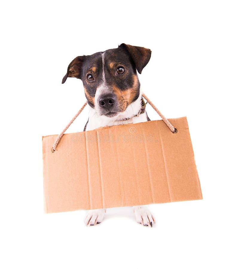 与一个标志的杰克罗素狗在白色背景; 免版税库存照片