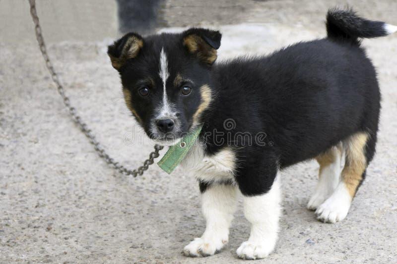 与一个白色乳房的一只小黑小狗在水泥地板上站立 免版税图库摄影