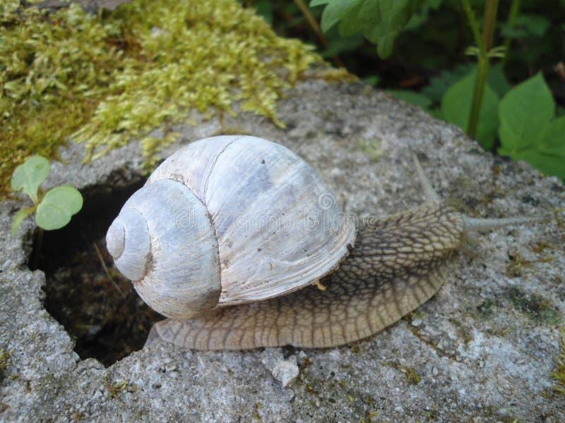 与一个白色房子的蜗牛 免版税库存照片