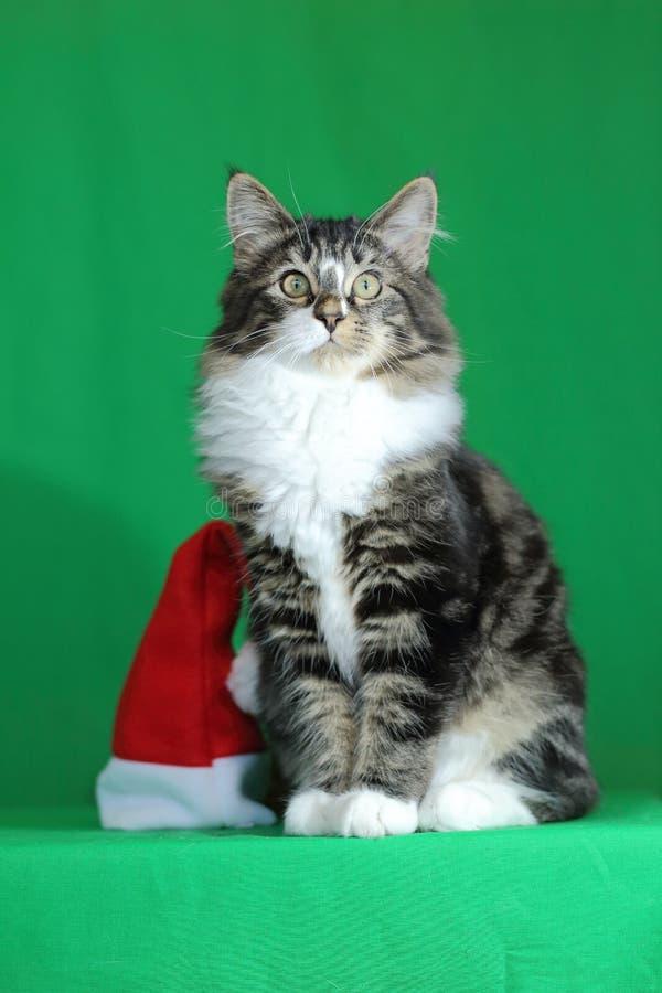 与一个白色脖子和骄傲和庄严神色的小猫缅因浣熊灰色老虎,当在圣诞老人帽子旁边坐一绿色backgr时 免版税库存照片