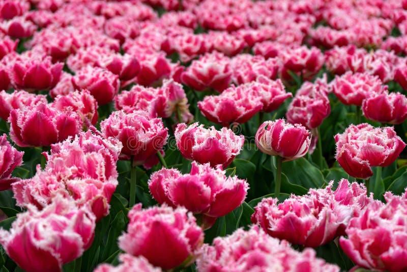 与一个白色边缘的桃红色被装饰的郁金香在一个植物园里在春天 图库摄影