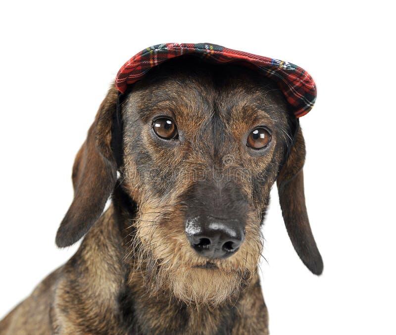 与一个盖帽的架线的头发达克斯猎犬画象在白色演播室 免版税库存照片