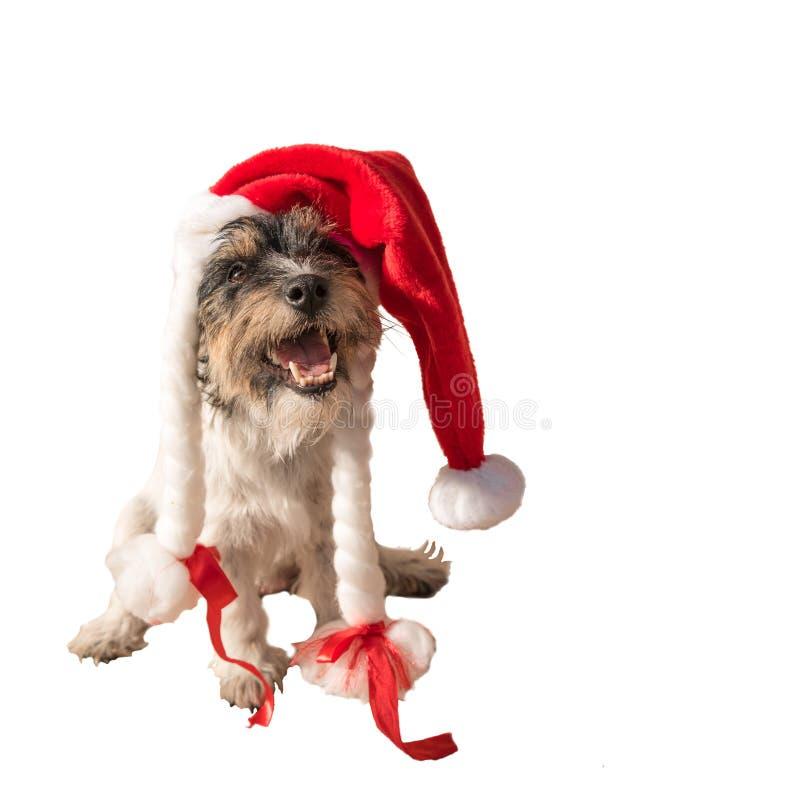 与一个红色盖帽的逗人喜爱的圣诞老人项目狗画象 图库摄影