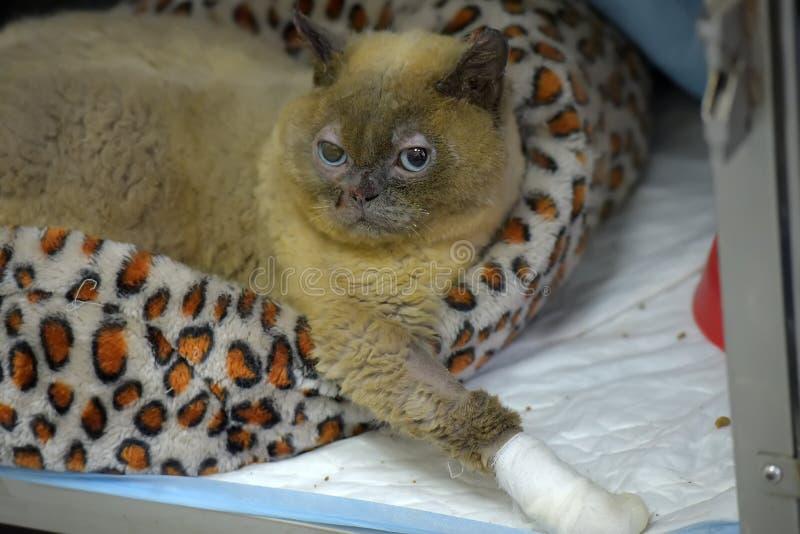 与一个被包扎的爪子的病的猫在一个兽医诊所的一只笼子 图库摄影