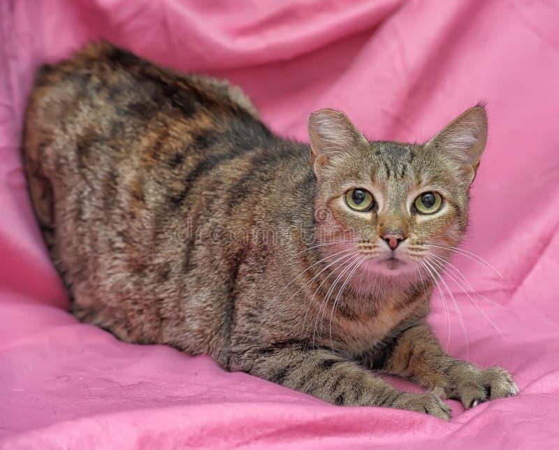 与一个被截去的耳朵的镶边猫 免版税库存图片
