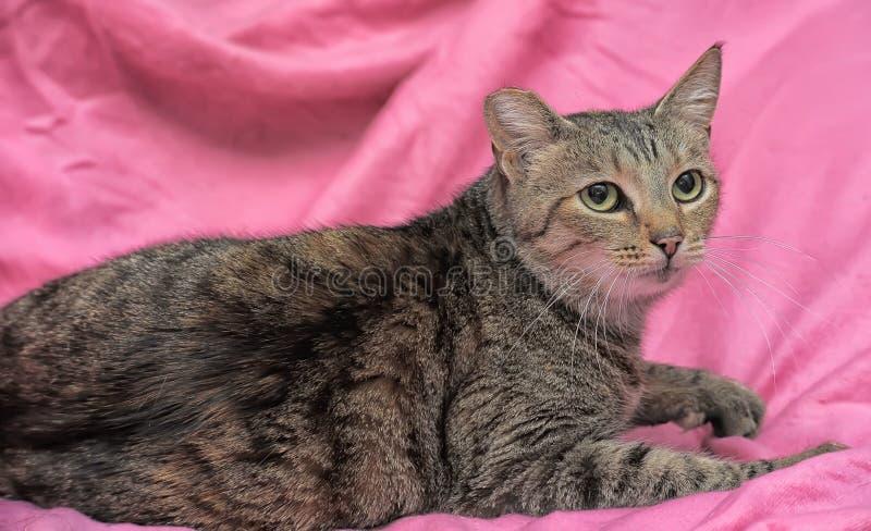 与一个被截去的耳朵的镶边猫 免版税库存照片
