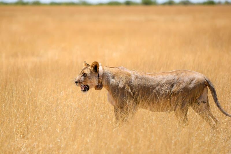 与一个跟踪的衣领的一头母狮子在脖子上走通过干草的观点的难以置信的关闭的在埃托沙国家公园 图库摄影
