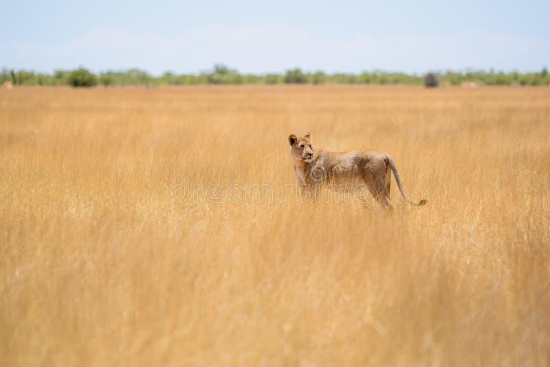与一个跟踪的衣领的一头母狮子在脖子上走通过干草的观点的难以置信的关闭的在埃托沙国家公园 库存图片