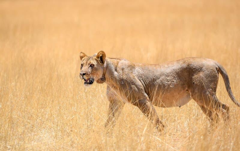 与一个跟踪的衣领的一头母狮子在脖子上走通过干草的观点的难以置信的关闭的在埃托沙国家公园 免版税库存图片