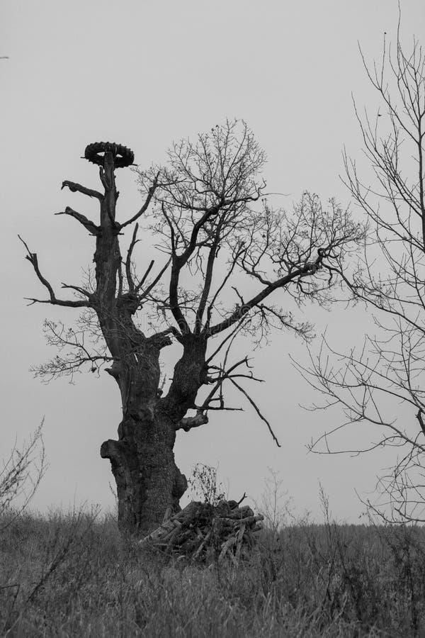 与一个轮子的一棵偏僻的树鹳巢的  非标准形式树,没有叶子 Monohrom 免版税库存图片