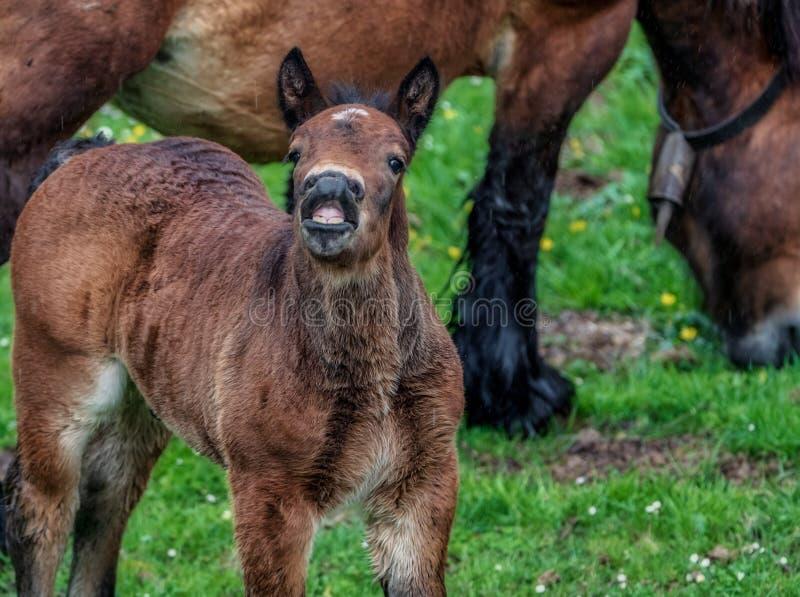 与一个非常滑稽的表示的幼小马在他的面孔,好象他笑 免版税图库摄影