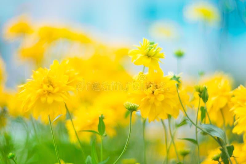 与一个非常软的焦点的美丽的黄色花在深蓝天空的背景 艺术性的图象,自然花卉背景与 免版税库存图片
