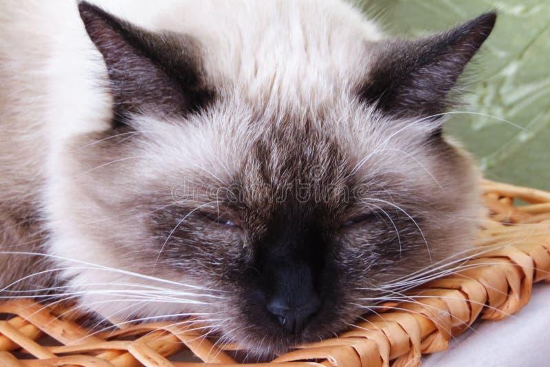 与一个黑鼻子的白色猫睡觉,特写镜头画象 免版税库存图片