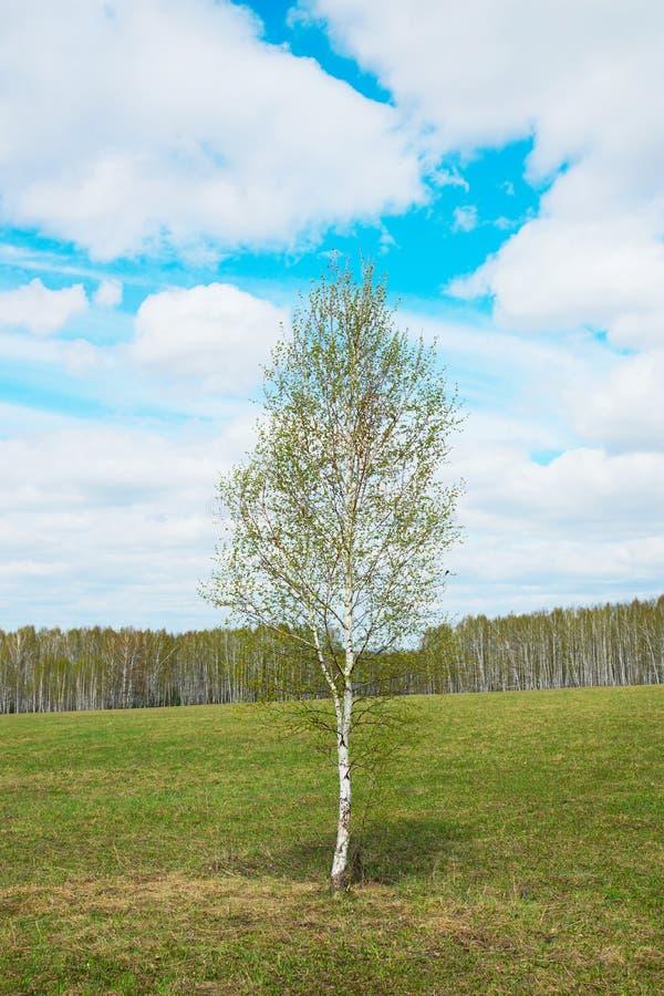与一个年轻偏僻的桦树的春天风景在宽领域中 免版税库存照片