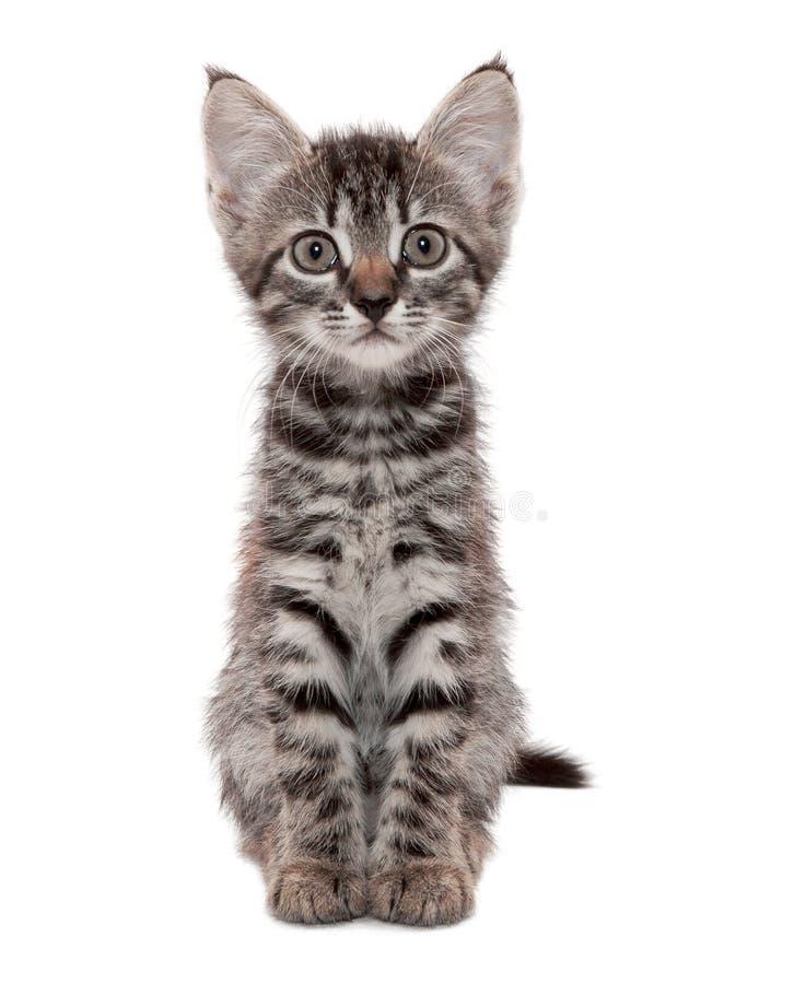 与一副惊奇的鬼脸的灰色镶边小猫 免版税库存照片