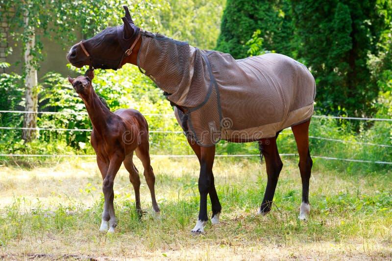 与一匹幼小公马的马 库存图片
