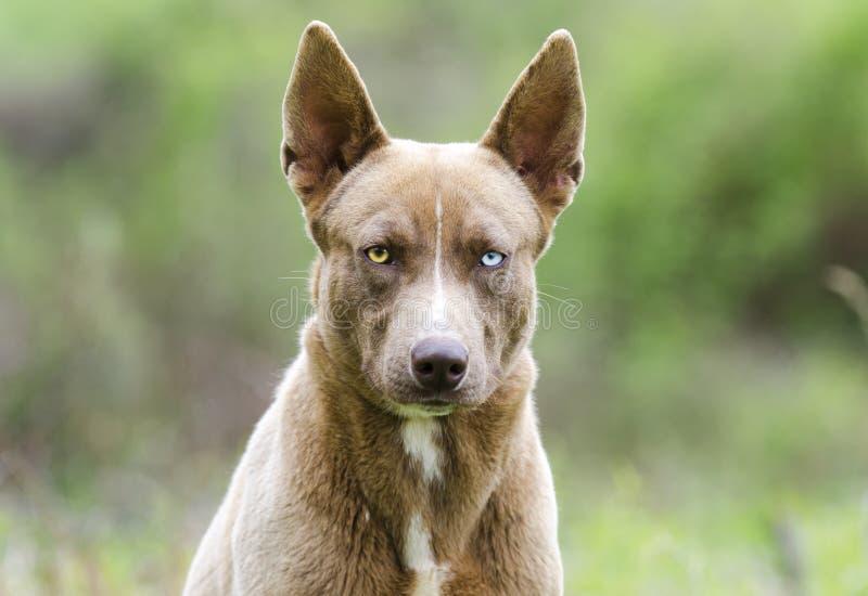 与一双蓝眼睛的巧克力法老王猎犬多壳的混合狗 库存照片