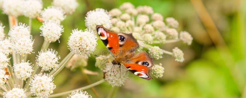 与一只孔雀铗蝶眼睛的横幅在草甸的一朵白色野花-宏指令 免版税库存照片